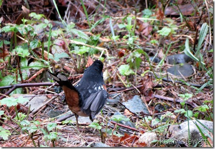 Spotted Towhee with injured wing