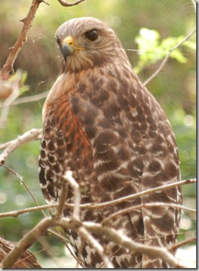 hsp_red_shouldered_hawk