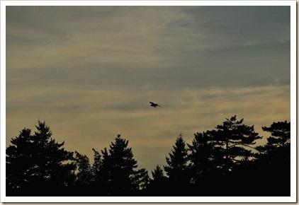 osprey with catch sunset