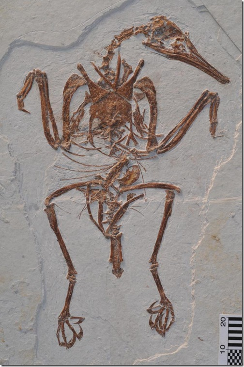 fosil_rapaxavis