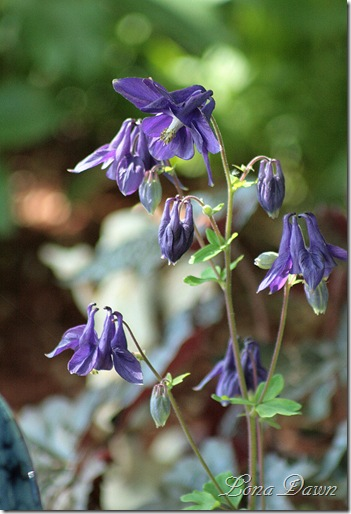 Columbine_Margy_Purple