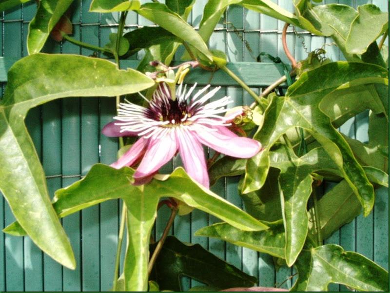 flores verano 2005 032