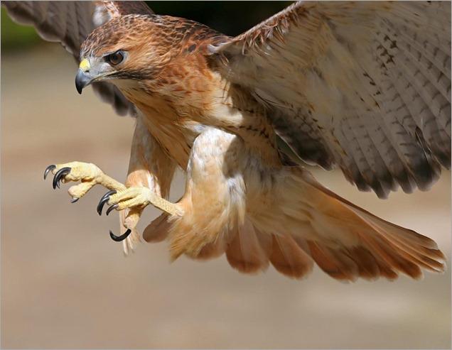 halcon - copia