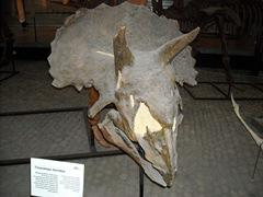 2008.09.05-013bis crâne de triceratops