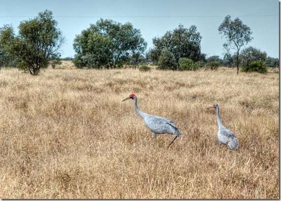 20110526-outback2011--bladensburg-NP--brolgas