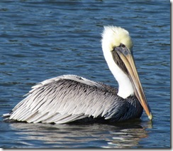 Beautiful mature Pelican