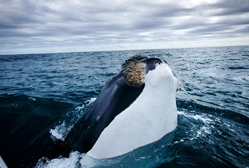 Southern Right Whale 01