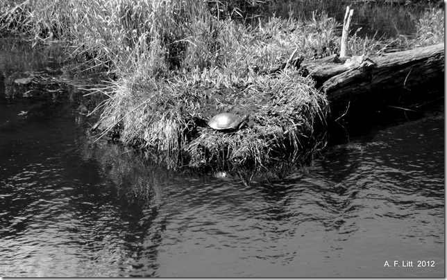 Western Painted Turtle.  Troutdale Trolley Rail Grade.  Gresham, Oregon.  April 24, 2009.