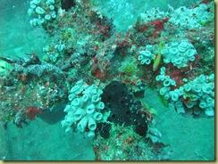 Soft Corals 1