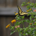 Eastern Tiger Swallowtail (Male)