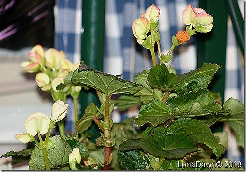 Begonias2