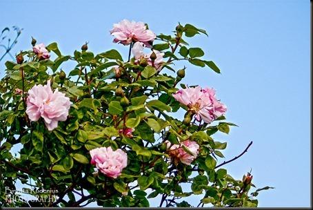 blom_20120615_rosor