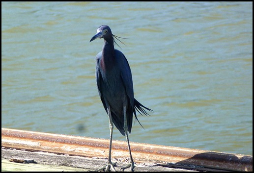 09d3 - Marina - Little Blue Heron