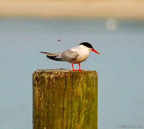 16. common tern-kab