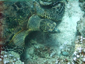 Hawksbill Turtle 001