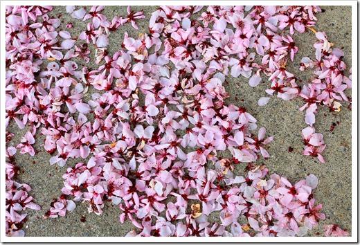 130303_Prunus-cerasifera-Krauter-Vesuvius_03