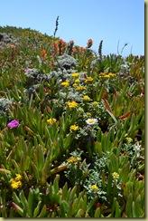 Bodega Head Flowers-4