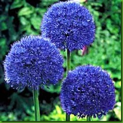 Allium Persian Blue