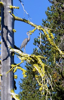 blue heron high in the tree