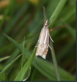 Hook Streak Grass Veneer Crambus lathionellus