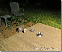 Possum eating cat food, image by Sue Reno