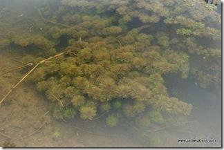 Limnophila_aquatic_plant_5