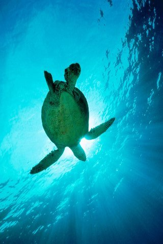 Swimming-through-sunbeams-sea-turtle