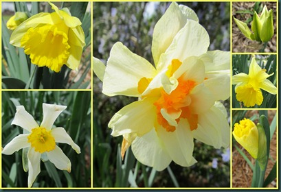 daffodil collage