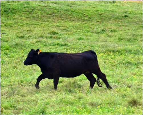 running heifer