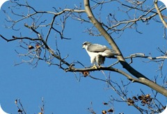 Goshawk