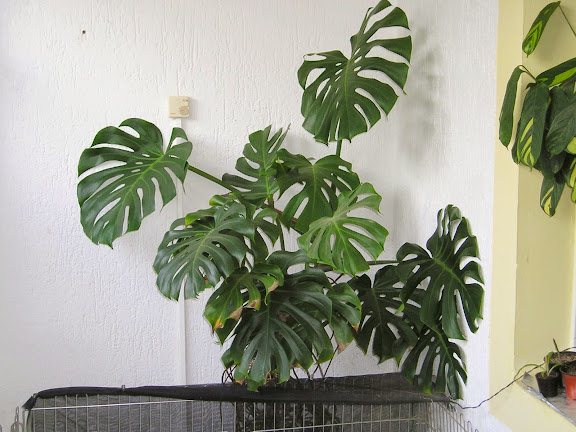 monstera-pflanze-plant-921257-o.jpg