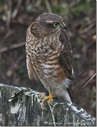 sparrowhawk-5