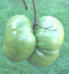 Yoyo tomatoes1