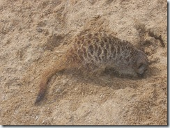 2004.08.25-051 suricate