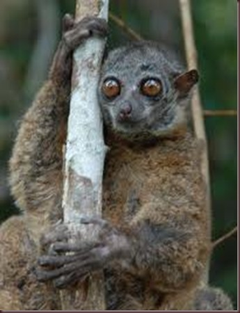 Amazing Pictures of Animals photo Nature exotic funny incredibel Zoo Lemur. Alex (1)