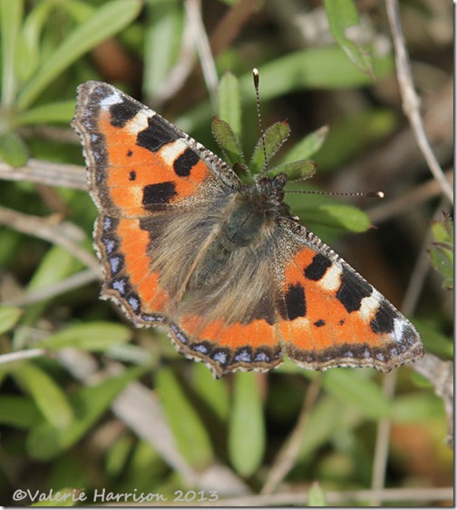 small-tortoiseshell