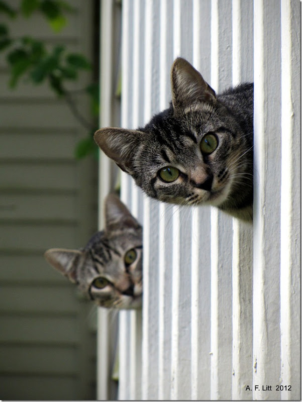 Porch Kittens.  Gresham, Oregon.  June 6, 2012.  Photo of the Day by A. F. Litt: June 8, 2012.