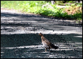 07 - Heading Home - Ruffed Grouse