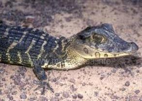 Amazing Pictures of Animals, Photo, Nature, Incredibel, Funny, Zoo, West African, crocodile desert crocodile, Crocodylus suchus, Alex (3)