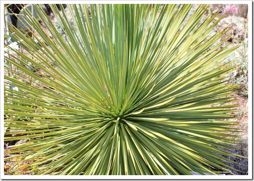 130428_UCBG_SpringSale_Yucca-thompsoniana_01