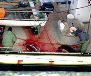 Slaughtered harp seals in a Canadian fishing boat. Photo: Frank Loftus / HSUS