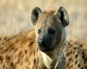 Amazing Pictures of Animals, Photo, Nature, Incredibel, Funny, Zoo, Hyena, Mammals, Alex (4)