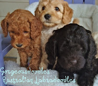 Labradoodles, red, apricot and chocolate Gorgeousdoodles puppies.