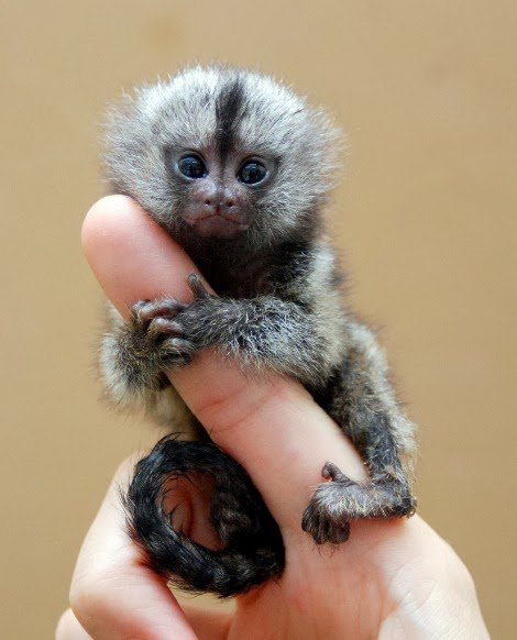 baby pygmy animals