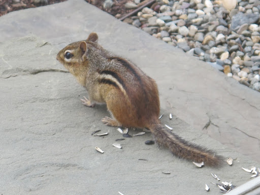 I wonder why its just sitting there?  Maybe chipmunks like to bask in the sun, too.