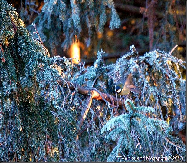 lintusia puun latvoja 008