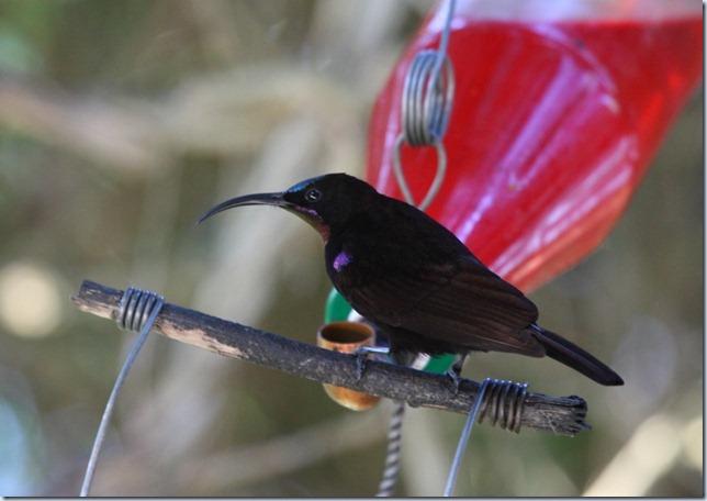 amethyst_sunbird