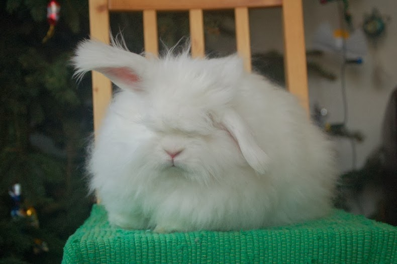angora-rabbit-13