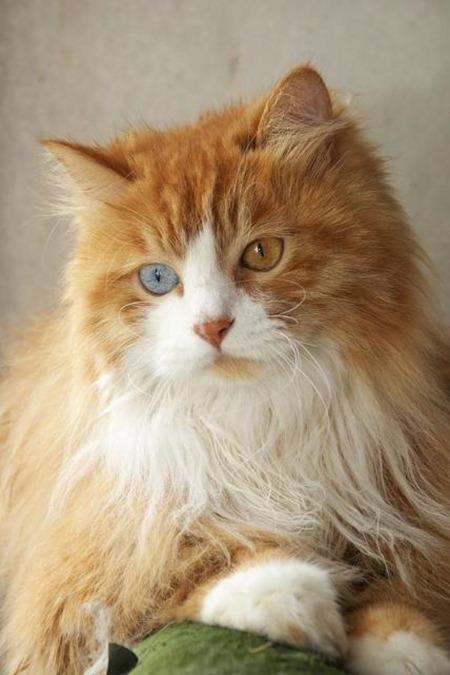 bigstockodd-eyedcat