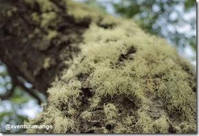 Barba-de-Velho (Usnea sp.)